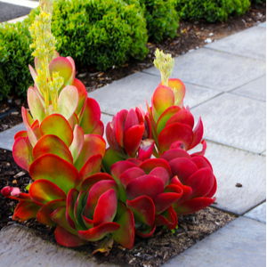 shutterstock 1358742782 9 Striking Succulents: A Growing Texas Trend IES Pools