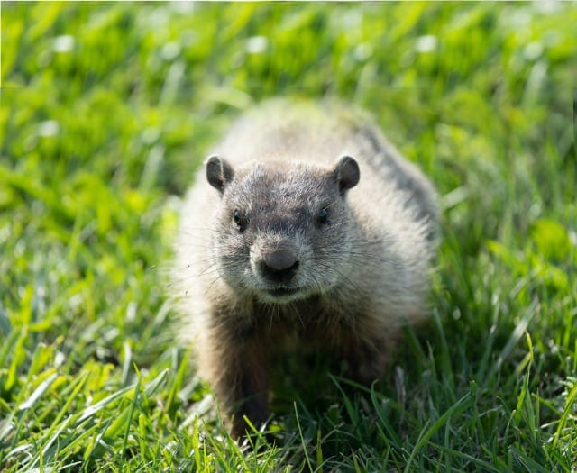 critter detective, groundhogs