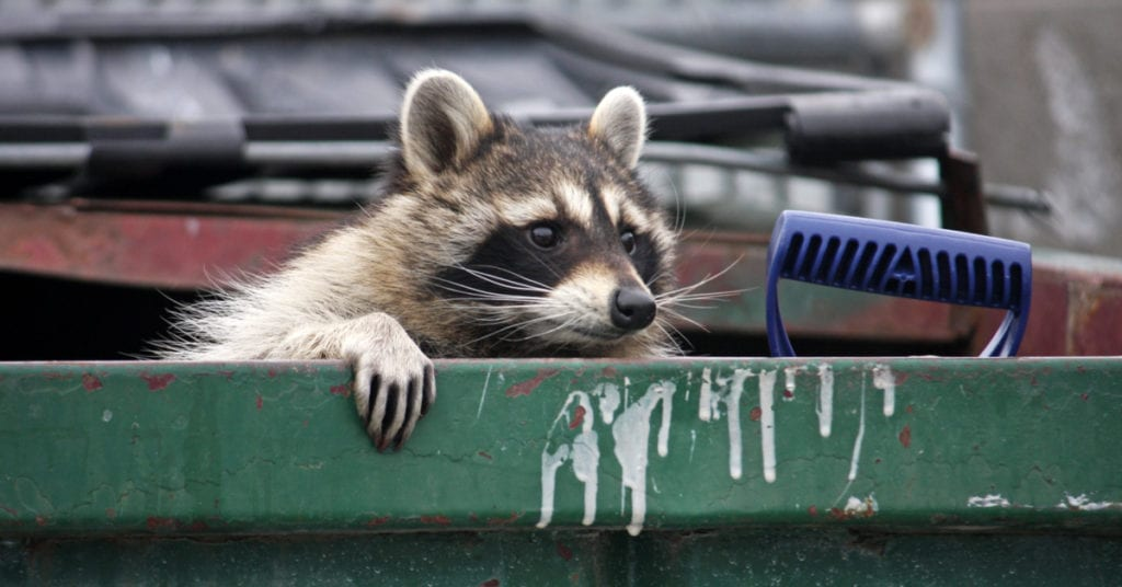 Indian Hill Raccoon Removal