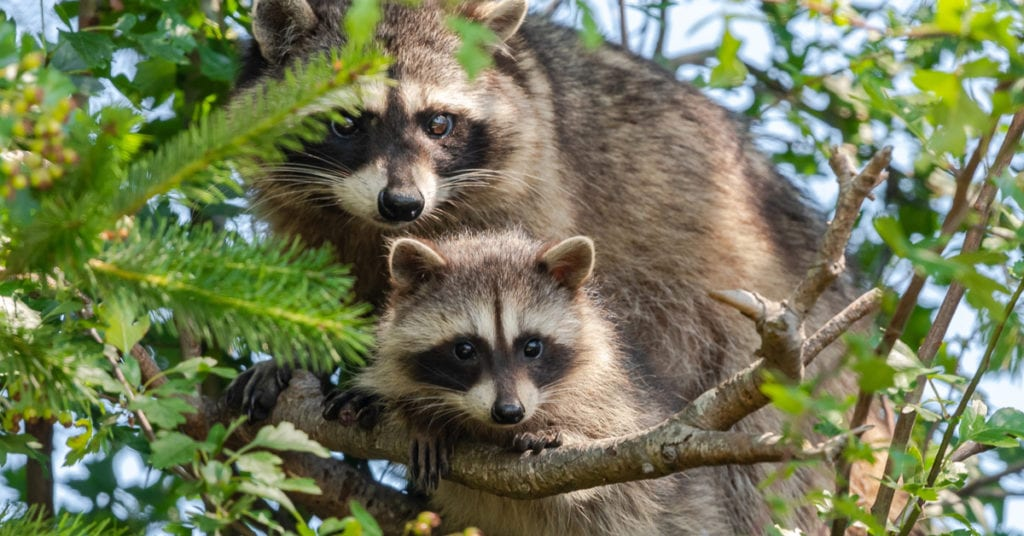 Do All Raccoons Carry Rabies?