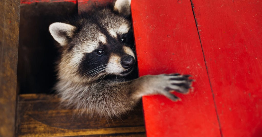 What Will Scare a Raccoon Away?