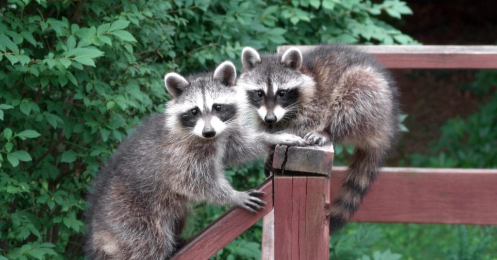 Is It Bad to Have Raccoons in Your Yard?
