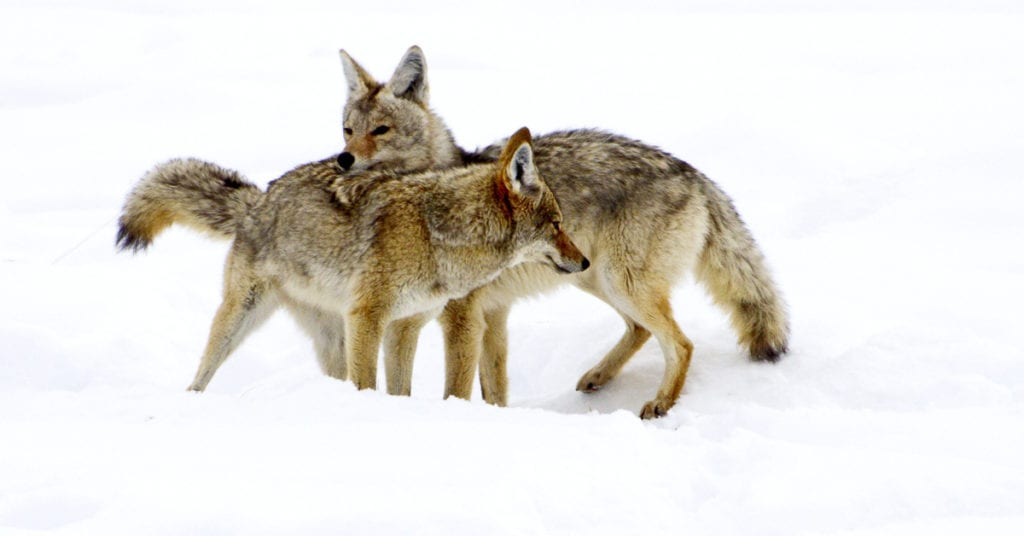Coyote Mating Season Is Upon Us
