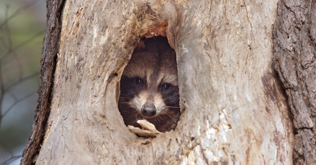 Where Do Raccoons Nest?