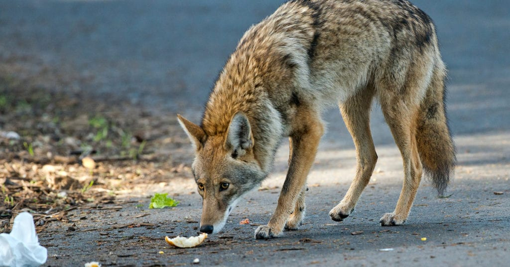 Coyotes: Are They In Your Area?
