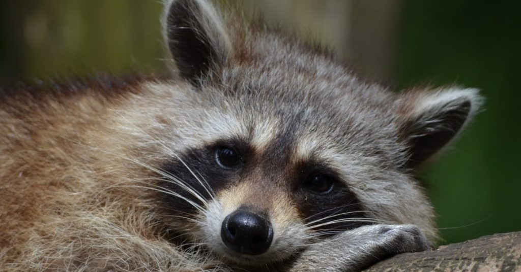 Raccoon Behavior During Fall and Winter in Ohio