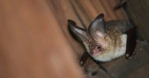 What Damage Can Bats Do To Homes