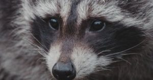 How To Get Rid of Raccoons in My Attic