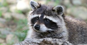 Who Do You Call to Remove a Raccoon in Ohio?