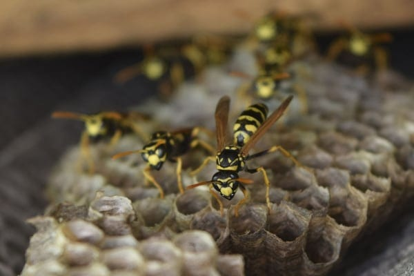 wasps, hornets, and bees control and removal