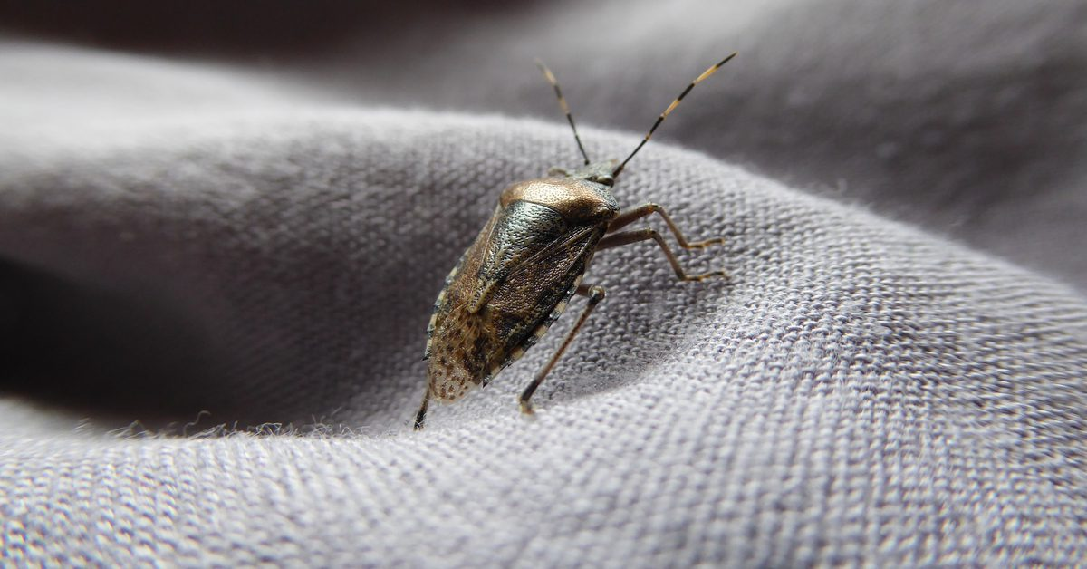 What Attracts Stink Bugs To Your House