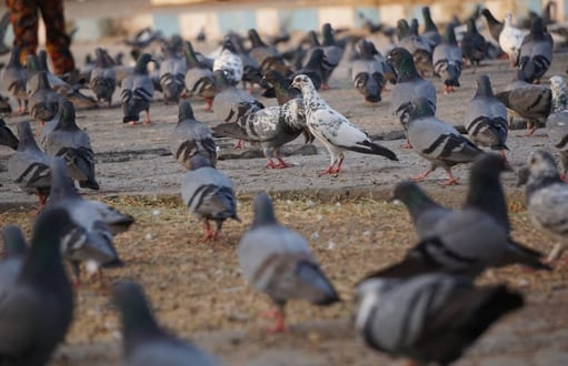 birds: bird removal and control, pigeons