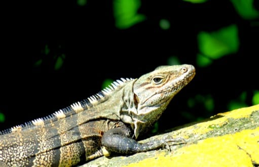 iguanas: iguana removal and control, black spinytail