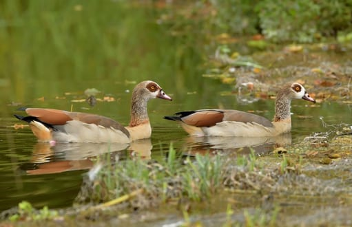 birds: bird removal and control, egyptian geese