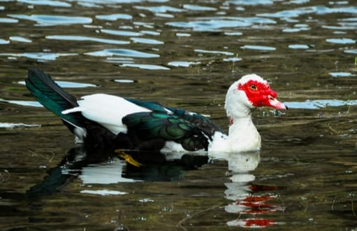 birds: bird removal and control, muscovy ducks