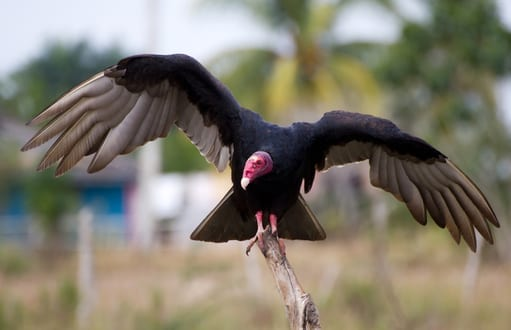 birds: bird removal and control, turkey vultures