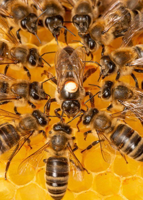 Stinging Insects, Bees, Wasps, Hornets