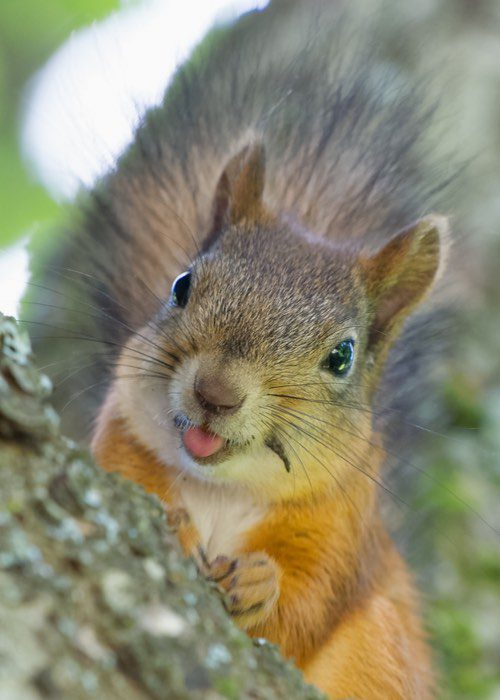 Squirrel Removal And Control