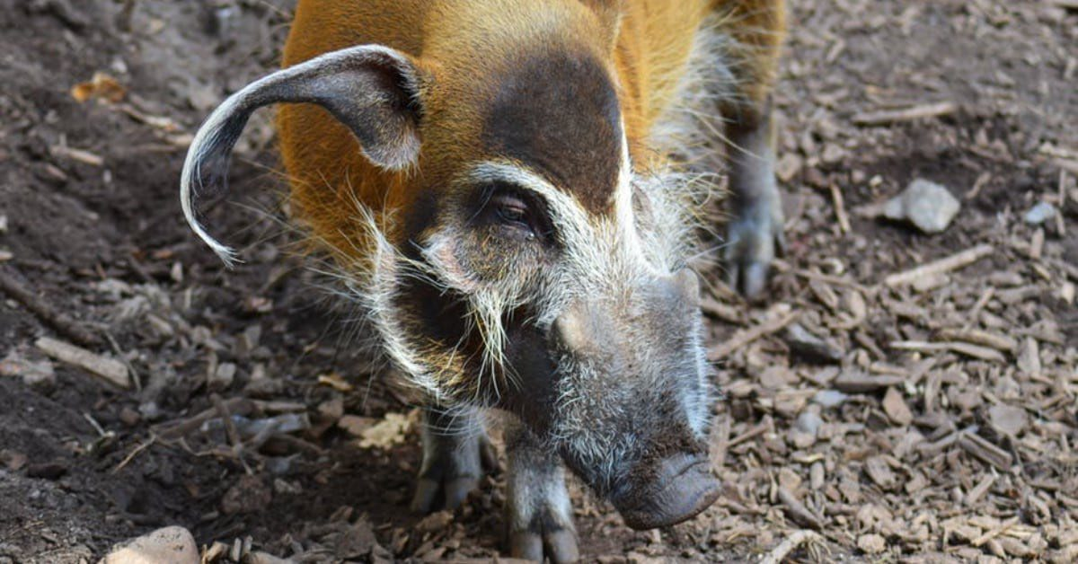 Invasive Wild Hogs in Upstate SC to Watch Out For