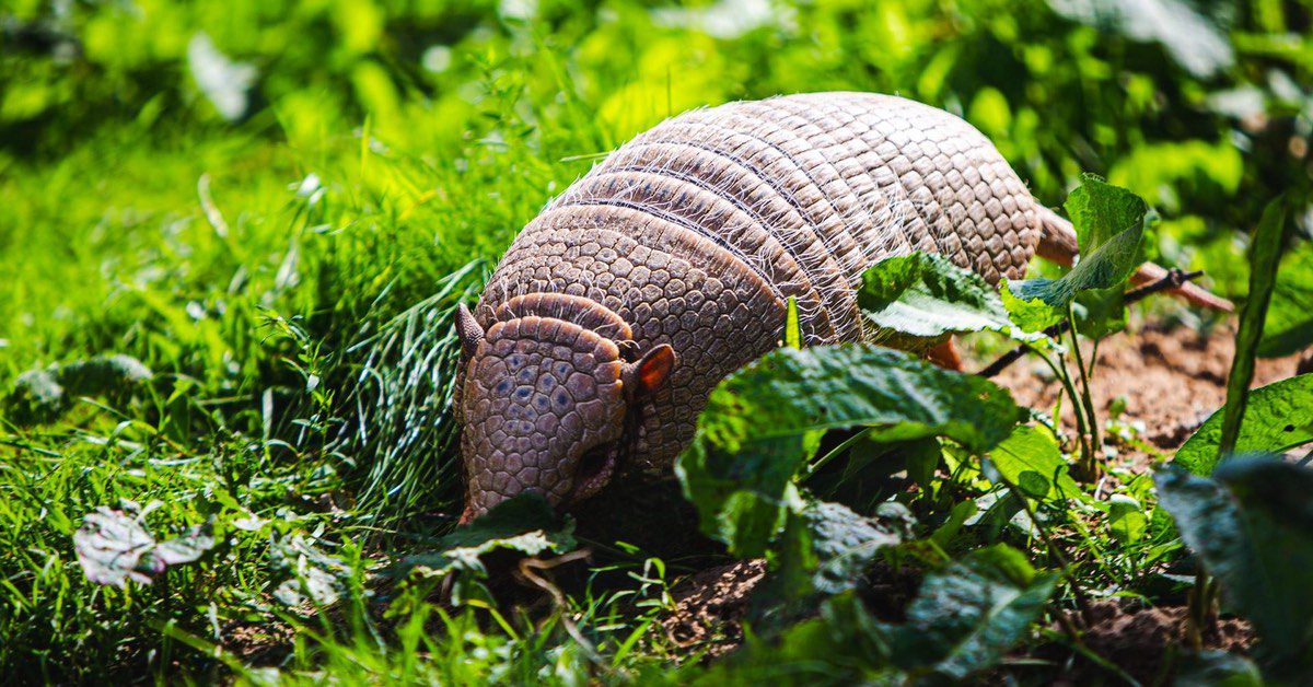 Armadillos In Upstate SC, What's Vital To Know