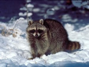 What Wildlife Pests Are You Likely to Encounter During Winter? 1