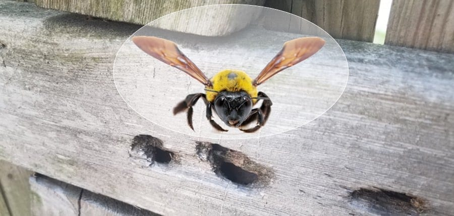 How Do You Get Rid Of Carpenter Bees?