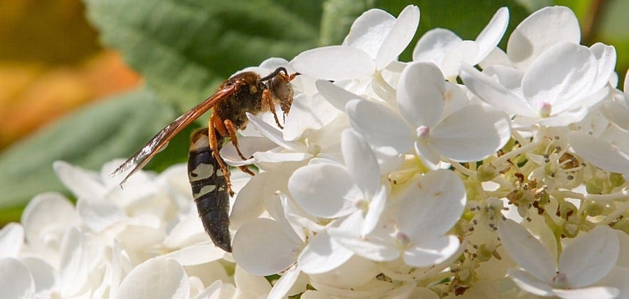 Cicada Killer Wasp Facts