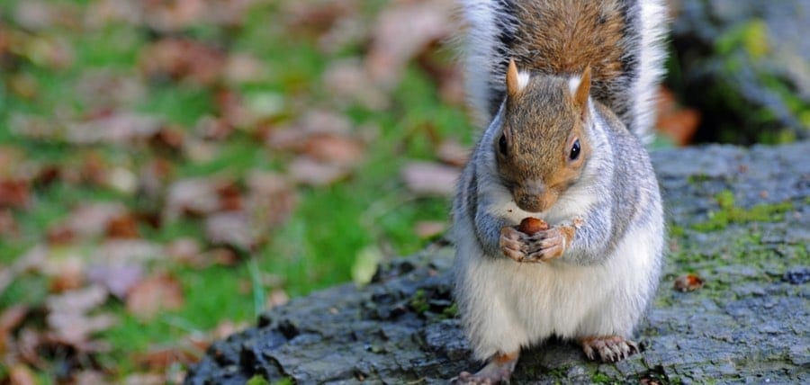 Grey Squirrels: Breeding, Babies, and Lifespan