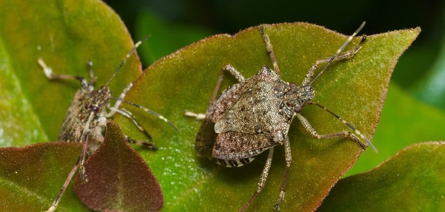 Home Invaders! All About & How To Get Rid of Stink Bugs