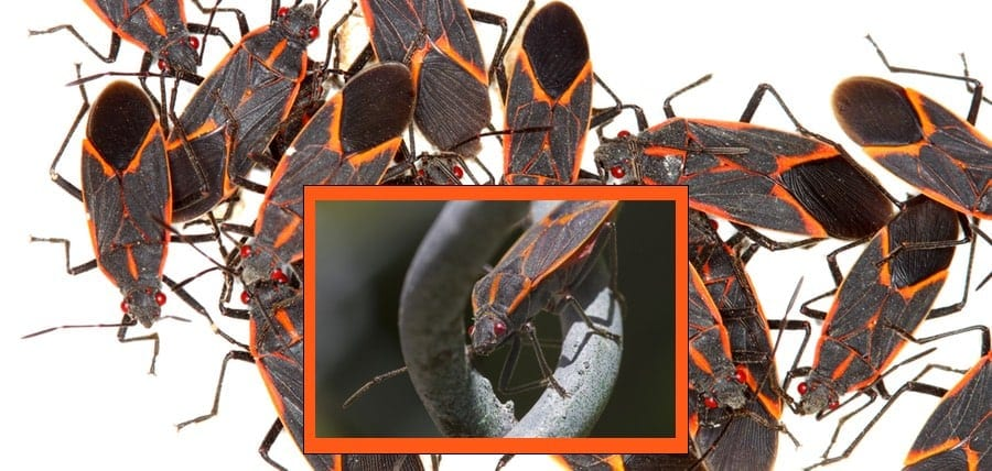 All About Boxelder Bugs and The Boxelder Trees They Feed Upon