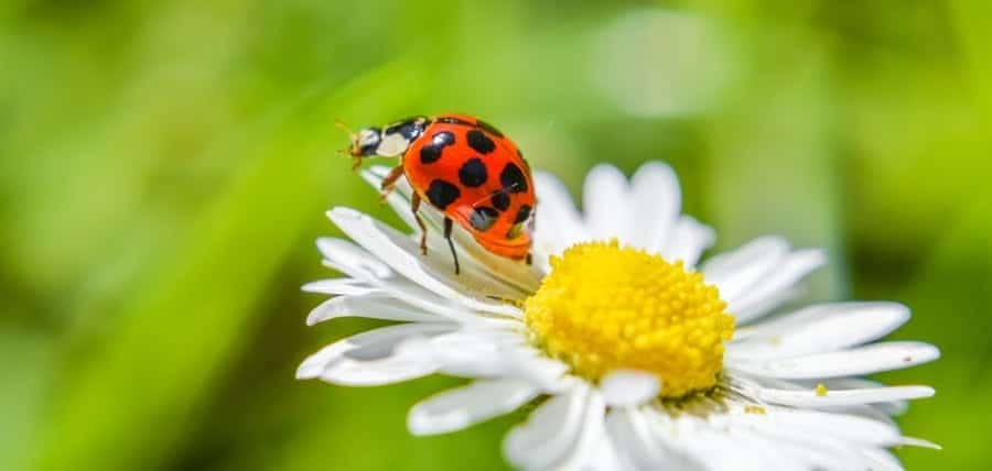 Ladybug Facts & What Attracts Them Into Your Home?
