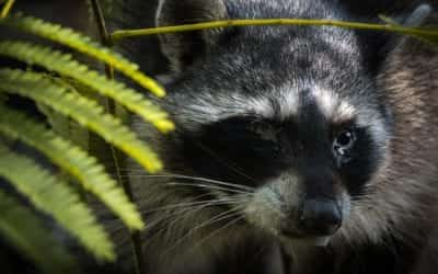 Protecting Your Home Against a Raccoon Invasion and the Risk of Distemper or Rabies