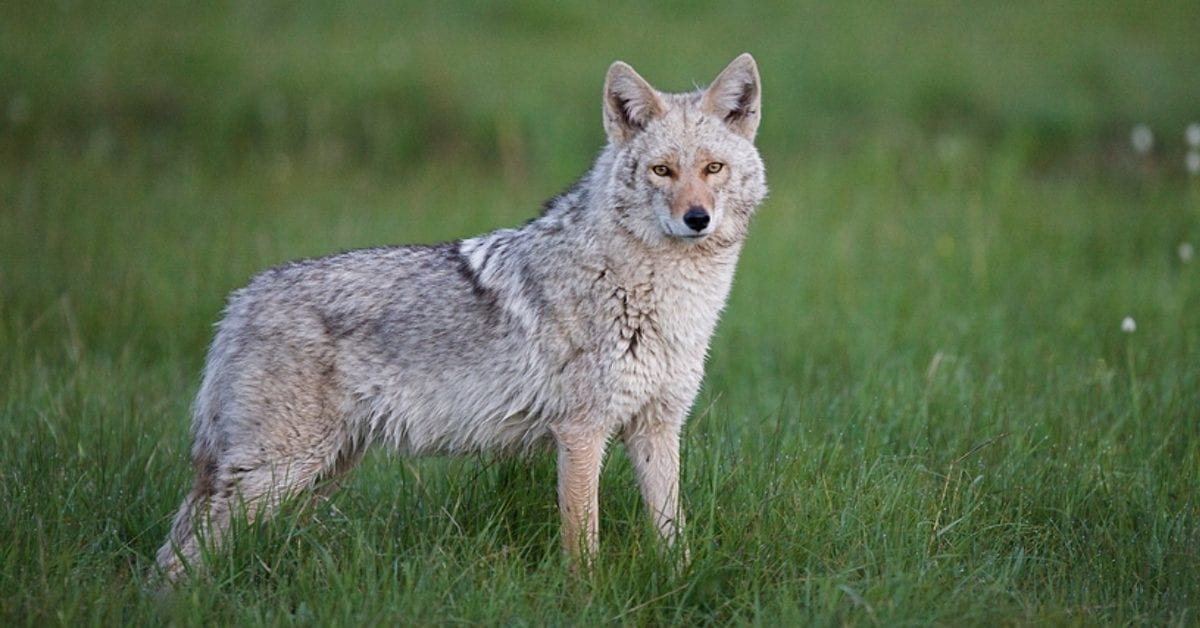 BEWARE! Eastern Coyote Sightings in NJ – What To Know!