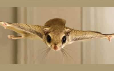 Flying Squirrels in The House? What to Do
