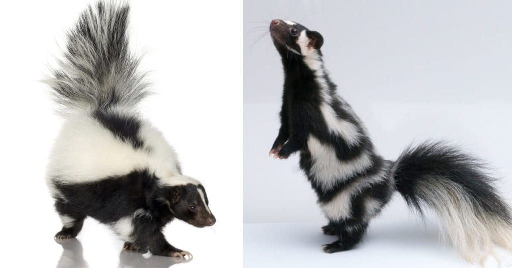 Types of Skunks: Striped, Spotted and Hooded, NJ Pest Control