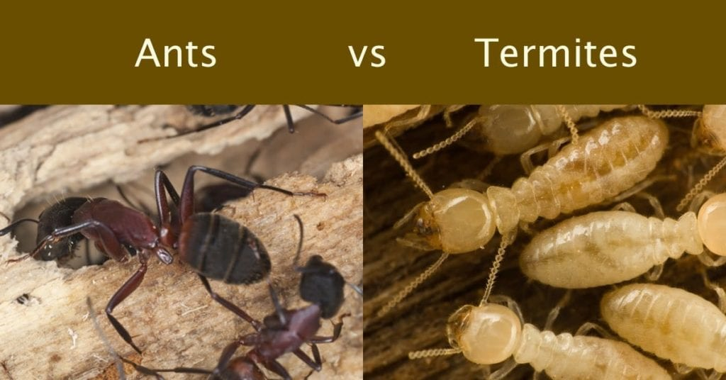 The Difference Between Ants and Termites