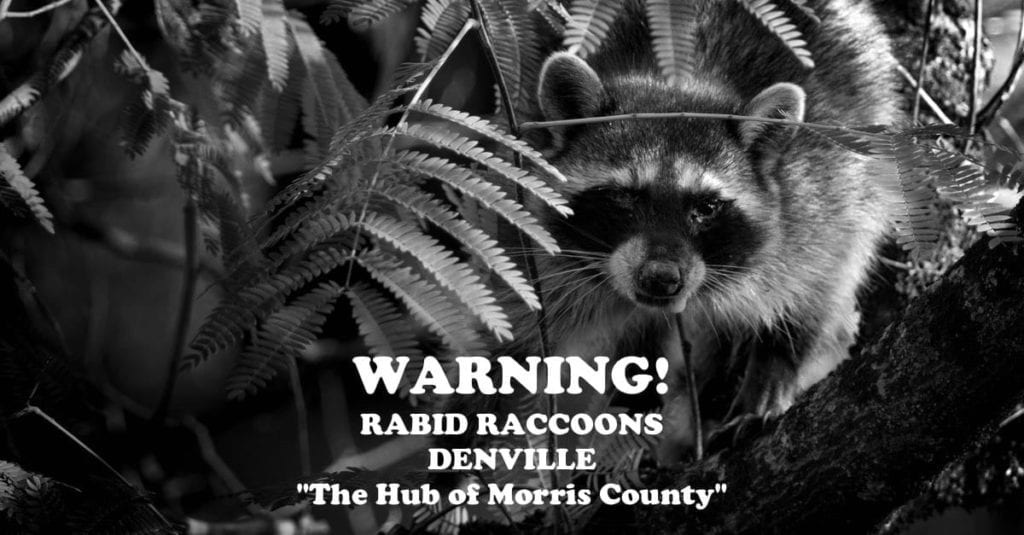 Warning! Rabid Raccoons On The Rise In Denville
