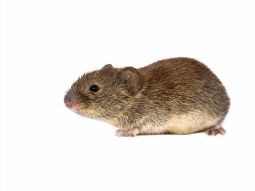 House Mouse 2