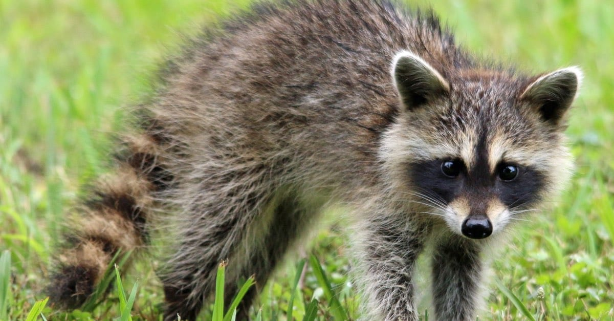 sick raccoon symptoms, SIGNS OF DISTEMPER AND MORE