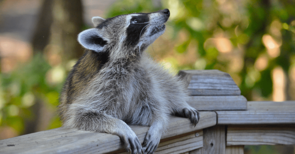 Unwelcome Visitors: What to Do If You Have a Raccoon in Your Backyard at Night