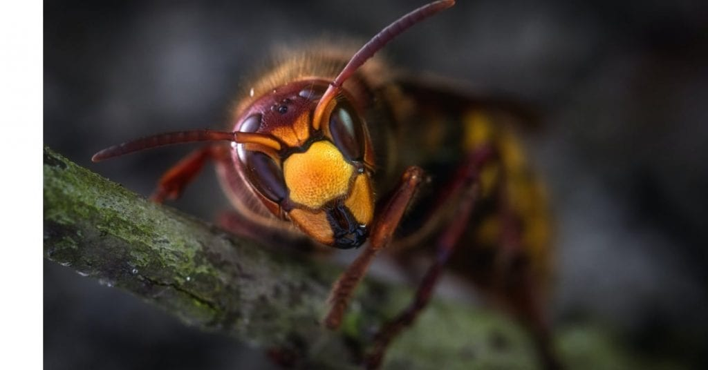Flying In With A Sting: Asian Murder Hornets Now In The Us