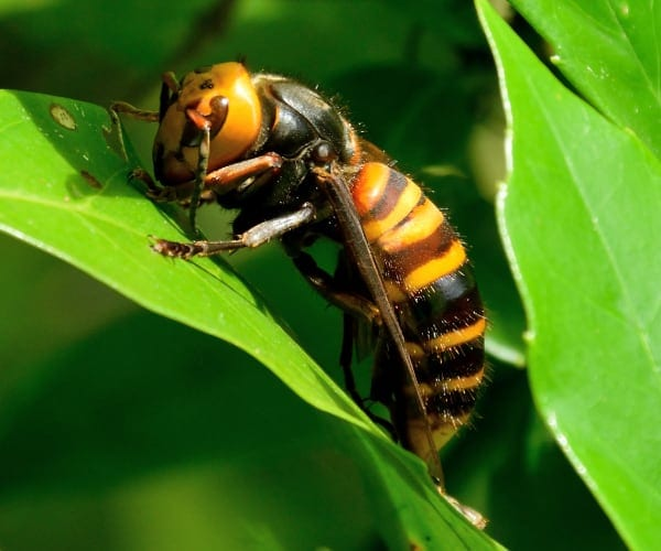 Hornets Vs Wasps? What You Should Know 1