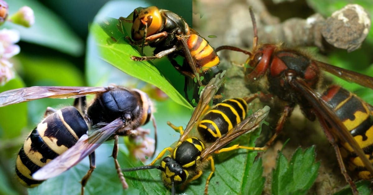 Hornets vs Wasps What You Should Know