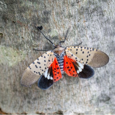 Spotted Lanternfly In Nj: Counties Under Quarantine Restrictions 1
