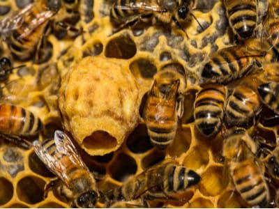 Better Beelive It! 4 Facts About The Honeybee, The Official State Bug Of New Jersey 2