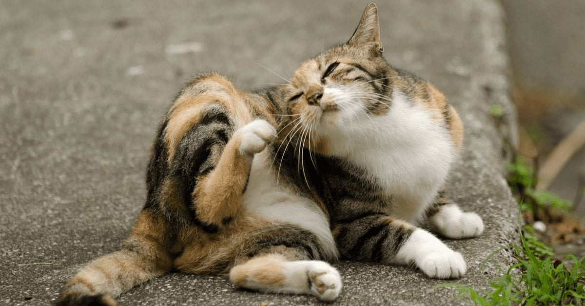 7 Signs: How To Tell if My Cat Has Fleas