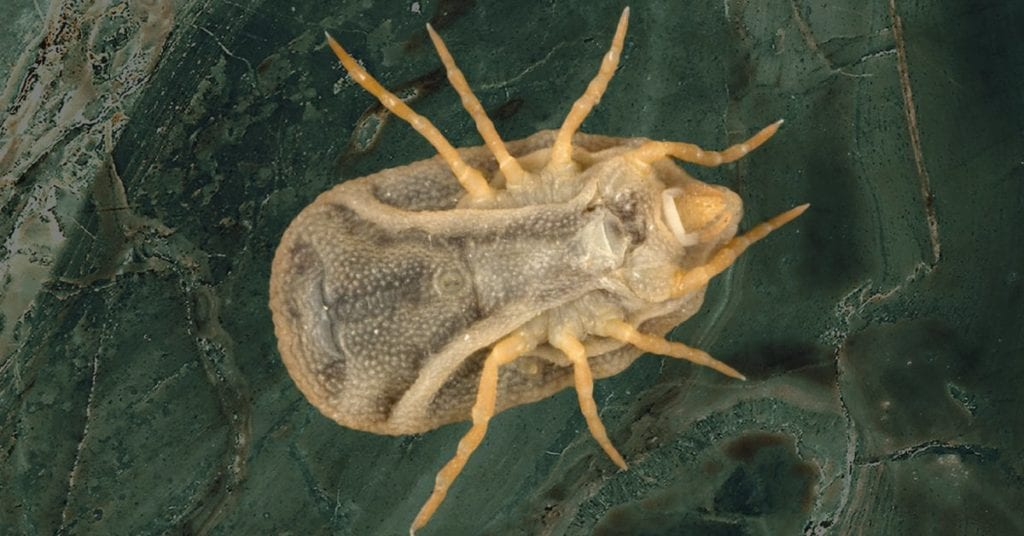 Bat Tick: Carios Kelleyi, Or C. Kelleyi A Potential Health Risk In Nj;