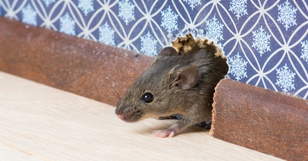 What Rodents Hibernate In The Winter And Which Will Enter Your Home