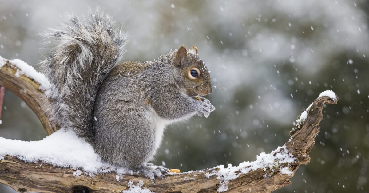 what rodents hibernate in the winter