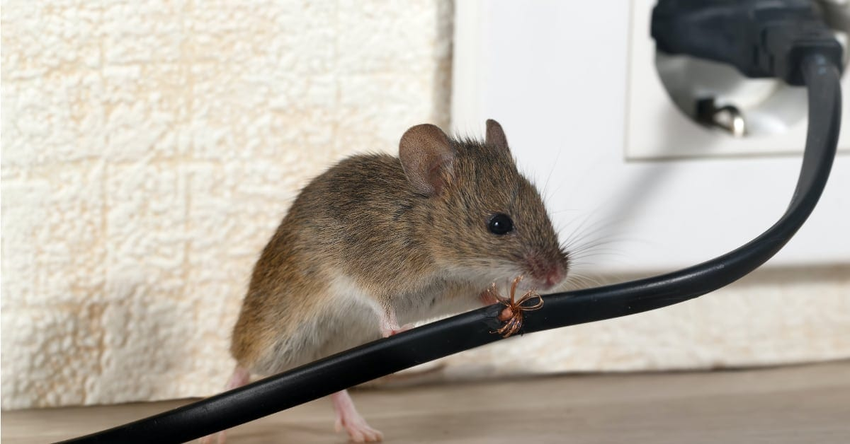 How To Prevent Mice From Chewing Wires